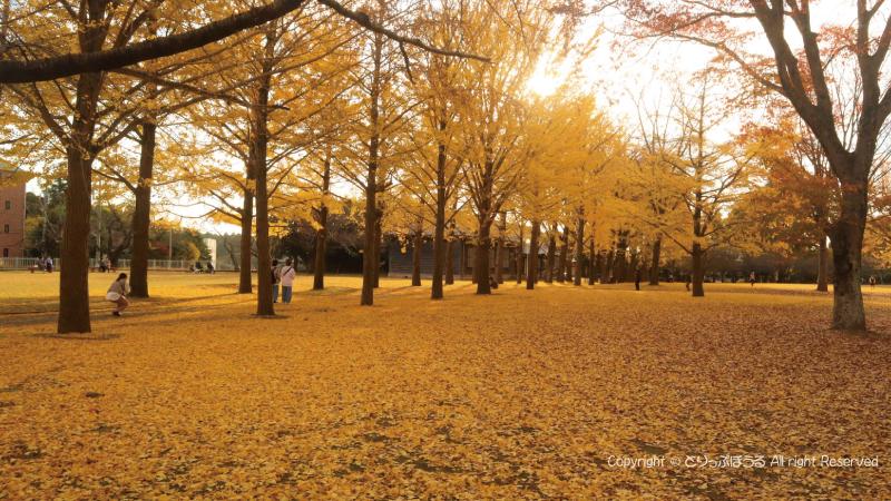 茨城県立歴史館いちょう並木道