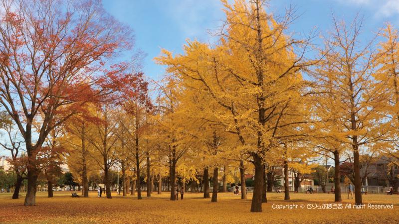茨城県立歴史館いちょう並木道2
