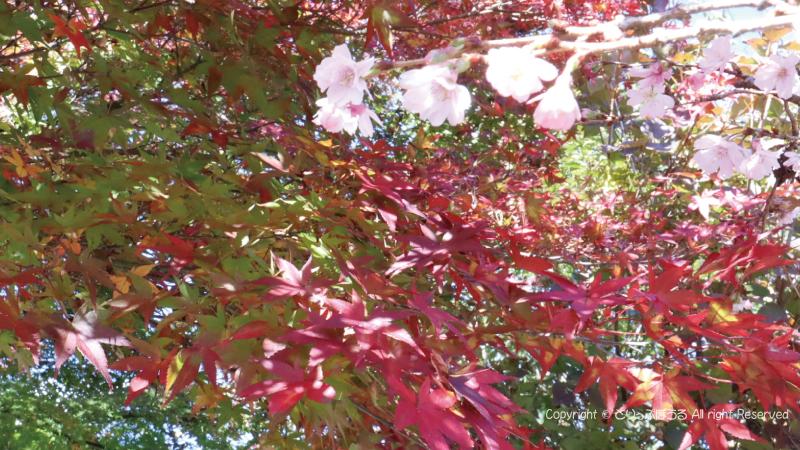 城峯公園の冬桜ともみじ