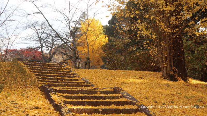 佐白山麓公園の笠間城跡いちょう