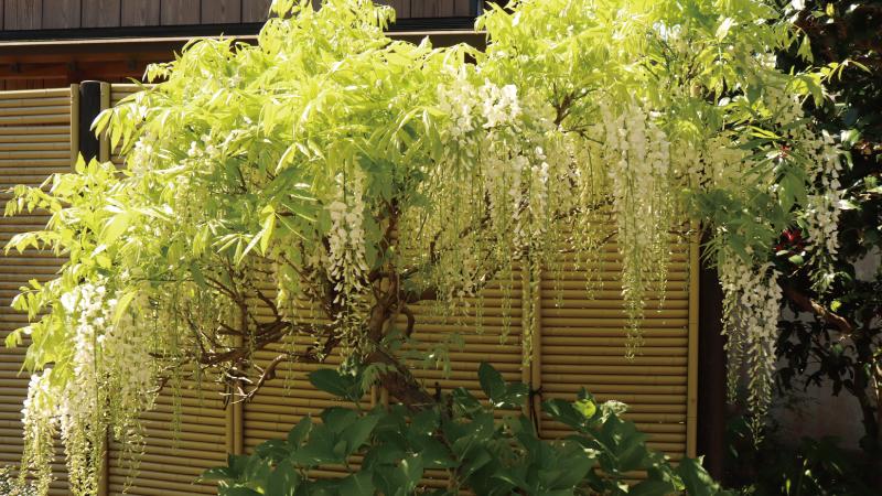 匝瑳市白い藤の花