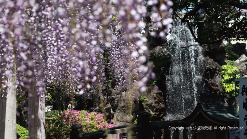 銚子妙福寺の藤と滝