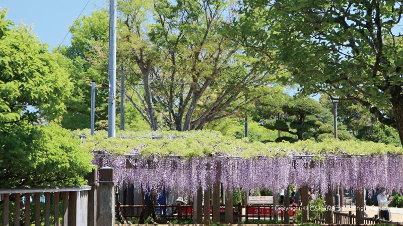 銚子妙福寺入口から見た藤棚