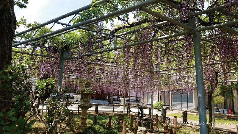 市川光圓寺の藤の花横