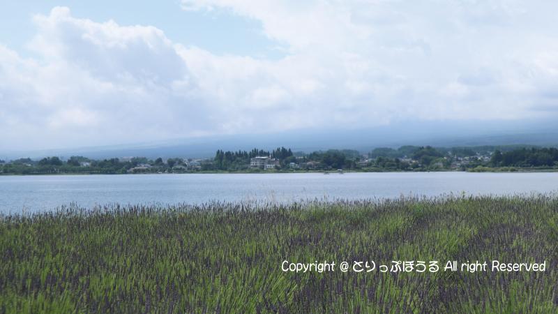 河口湖ラベンダー