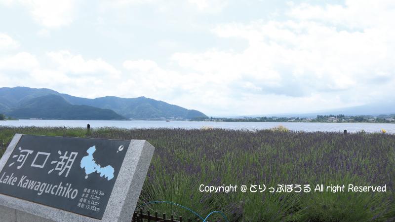 河口湖畔の大石公園ラベンダー