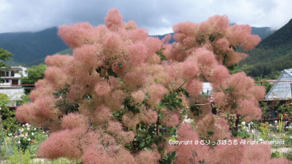 大石公園スモークツリー