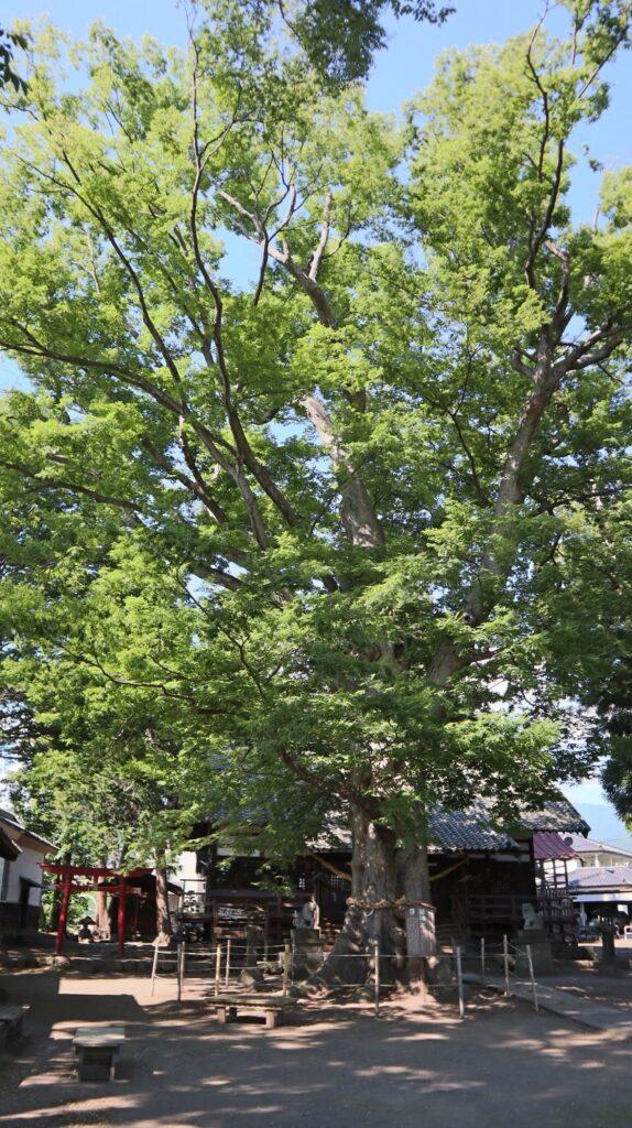 海野宿白鳥神社の御神木