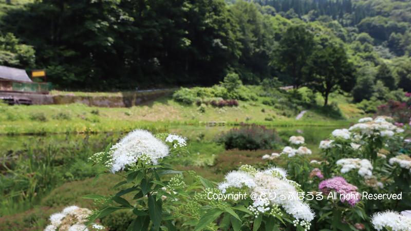 湯沢高原アルプの里池の花